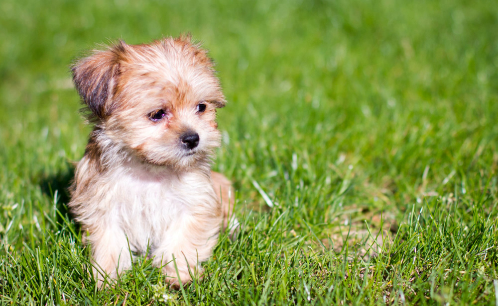 Designer Breed Puppies For Sale